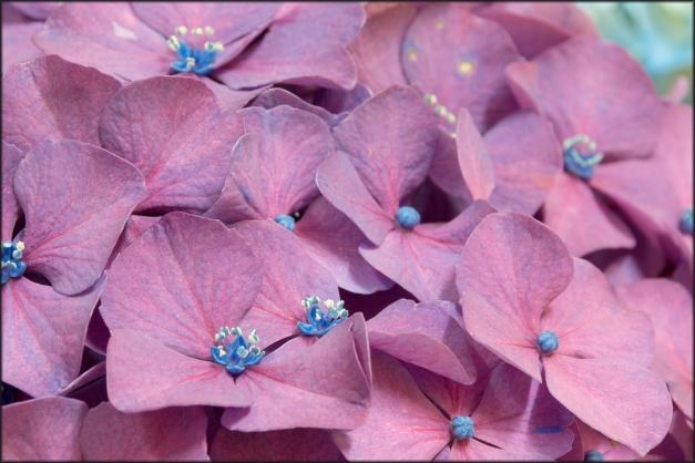 hortensias flores monasterio Herbón